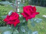Rose rosse.